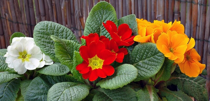Яркие цветки примул