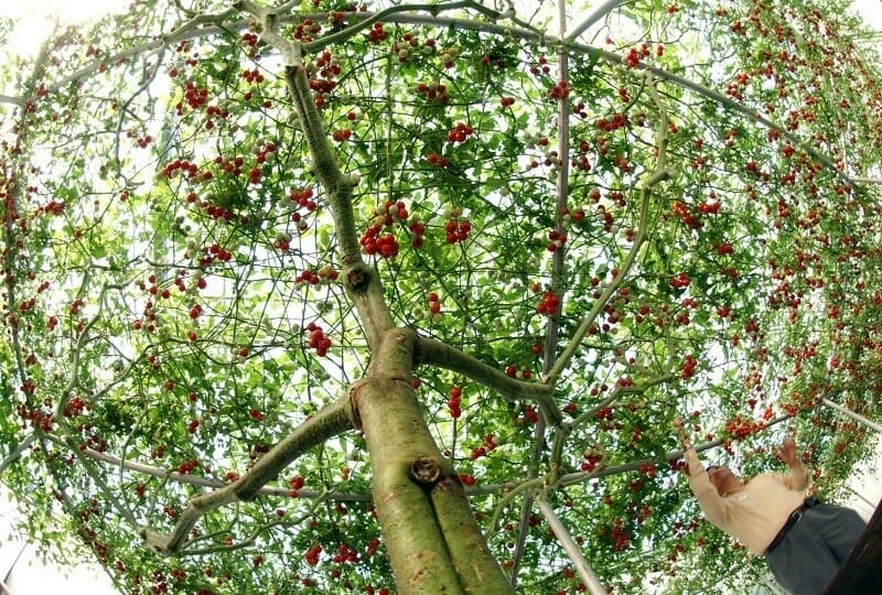Выращивание томатного дерева