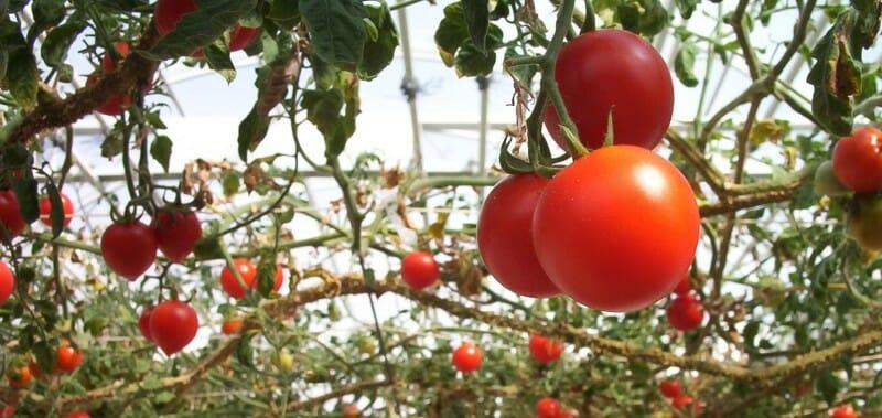 Плоды томатного дерева