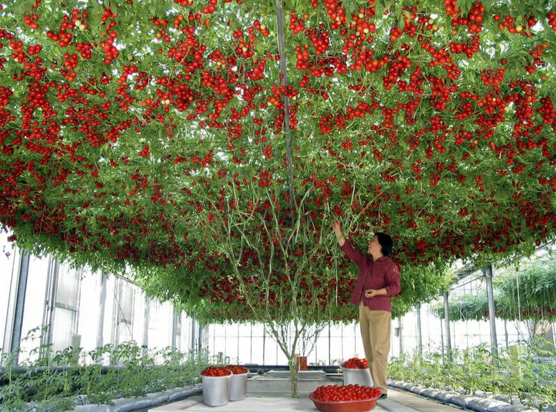 Томат Спрут F1 – выращивание в открытом грунте своими руками