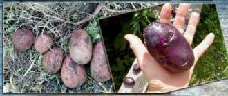 Размер картофельного клубня