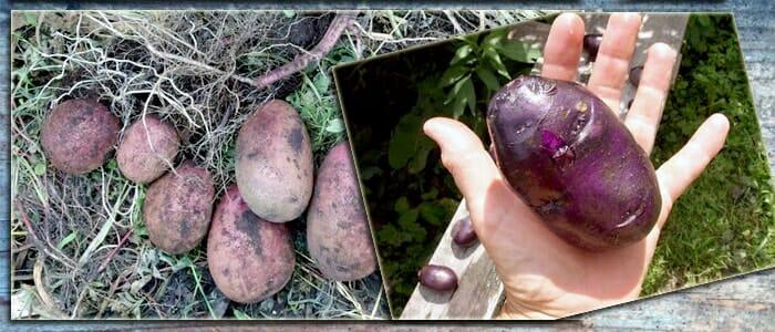 Картошка с фиолетовой кожурой и белой мякотью