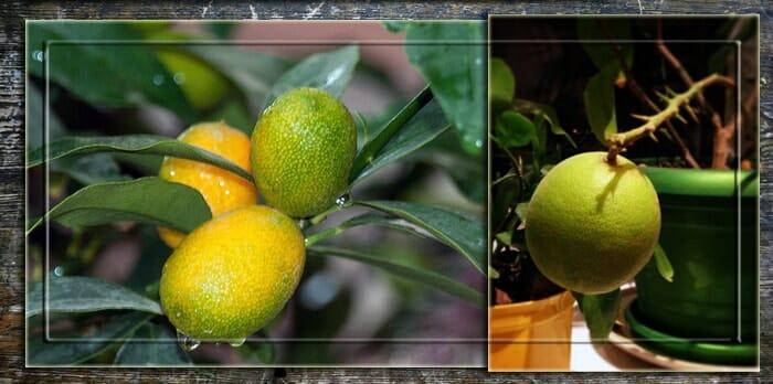 Лимонное дерево после полива