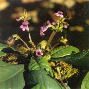 Мексиканская мята или агастахе