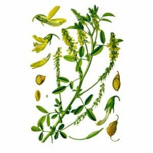 Донник (трава): лечебные свойства, применение, показания