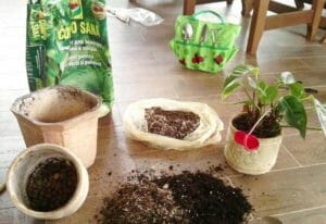 Рафидофора - эффектная лиана с крупными листьями
