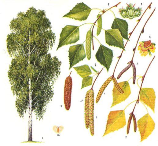 Береза: Фото, виды, выращивание, описание