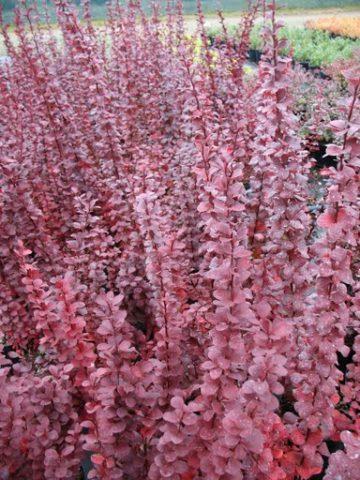24 вида барбариса: Все интересные факты о кустарнике