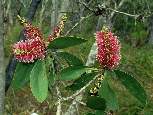 Многоликая аквилегия: фото цветов и описание видов