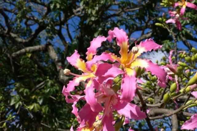 Алиогине: Фото, виды, выращивание