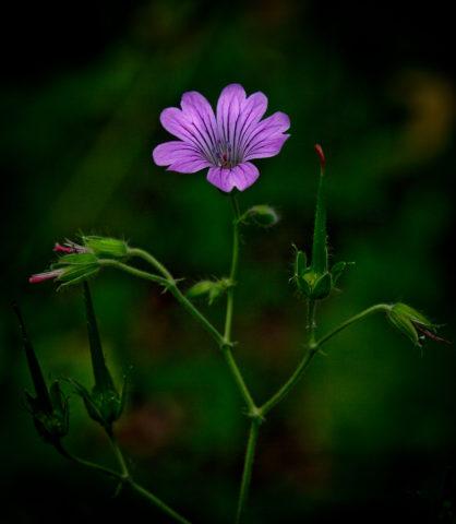 Аргирантемум: выращивание и уход, виды и описание