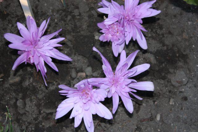 6 видов Безвременника: Раскрываем секреты выращивания