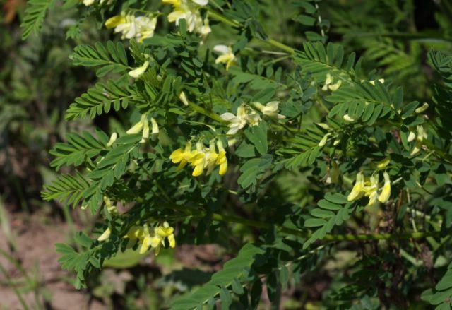 Аралия: выращивание, описание и виды