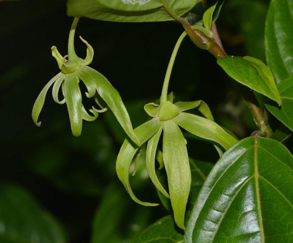 Ясменник (Asperula): виды и описание