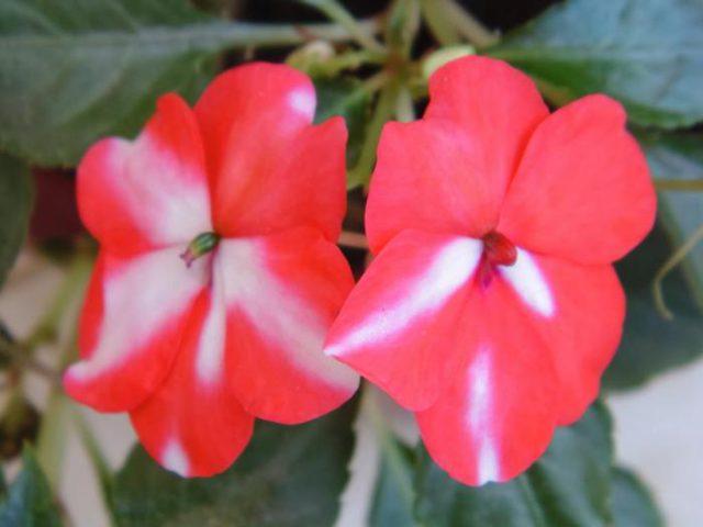 Бальзамин: виды и описание