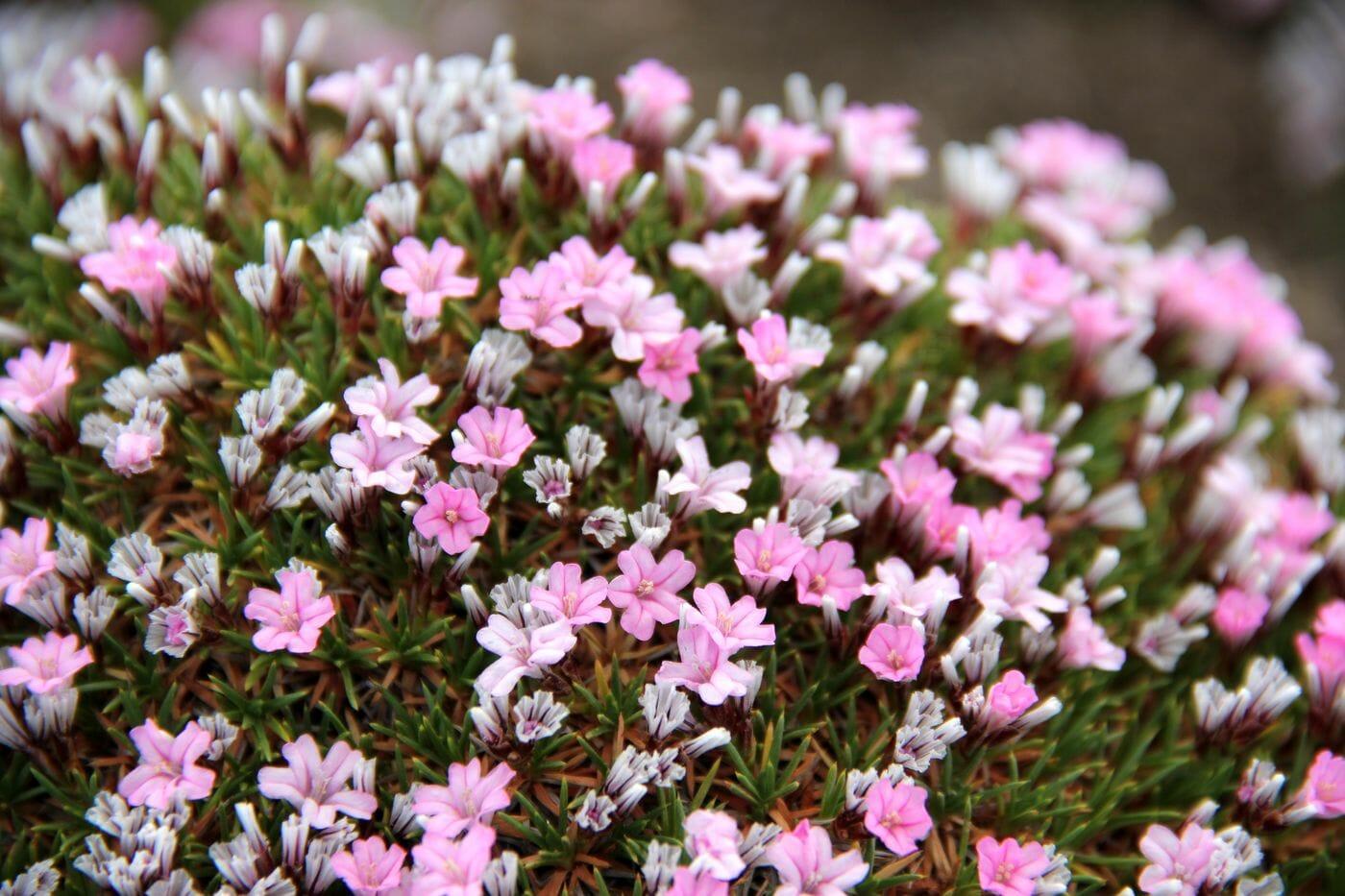 Акантолимон: декоративные виды, особенности выращивания, размножения, зимовки