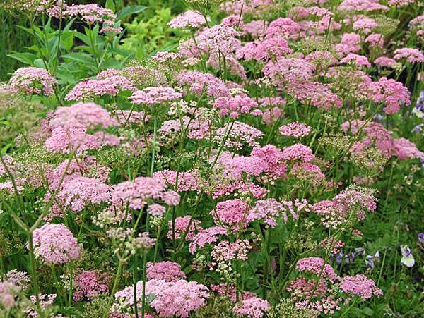 Рекомендуемые виды и сорта Бедренца для твоего сада