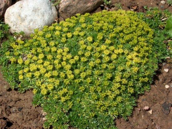 Азорелла: выращивание дома и в условиях открытого грунта