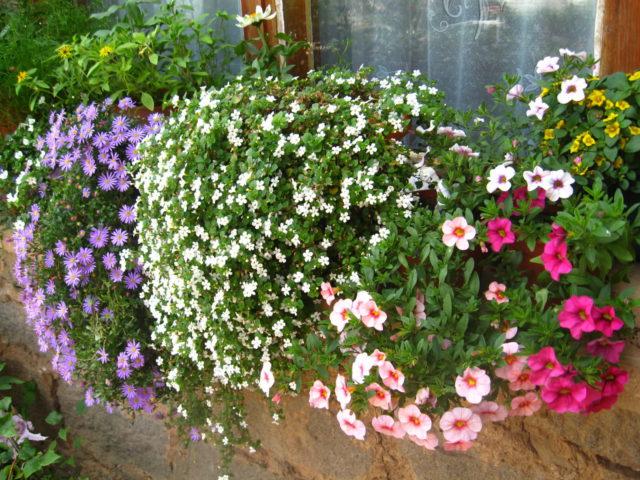 Бакопа - посадка, выращивание и уход в домашних условиях