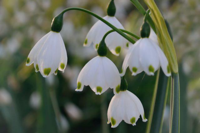 5 видов Белоцветника: Раскрываем секреты выращивания
