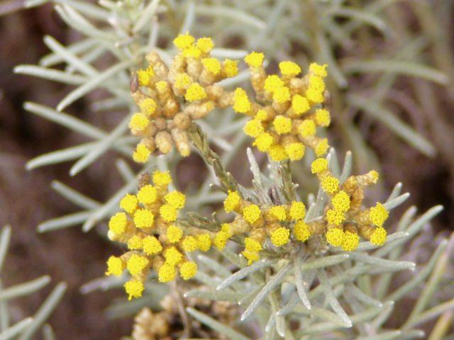 Бессмертник: Раскрываем секреты выращивания