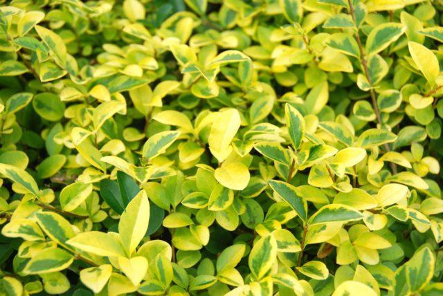 10 видов бирючины для сада: Раскрываем секреты выращивания