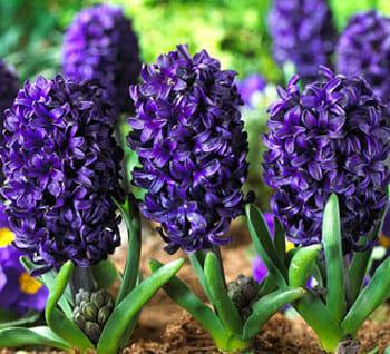 Агератум: фото, сорта, посадка и ход за цветами в открытом грунте