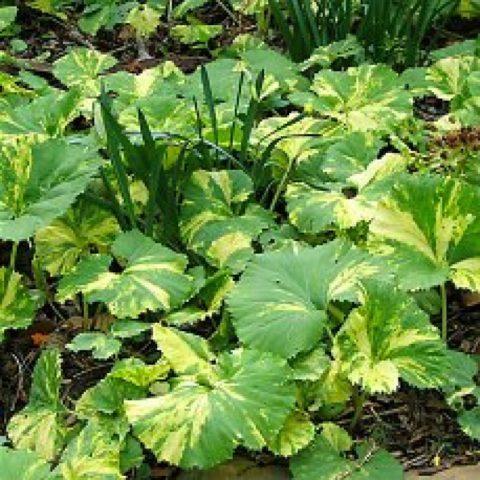 3 вида белокопытника для твоего сада: Раскрываем секреты выращивания