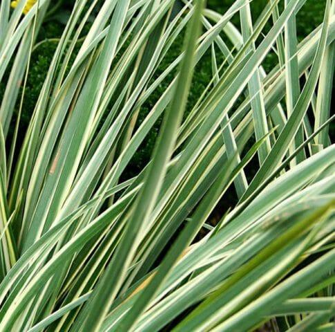 Аир болотный: фото, лечебные свойства и противопоказания