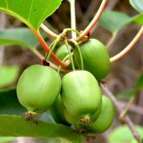 Растение Актея / Воронец: Виды, выращивание, размножение