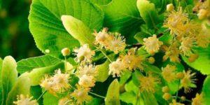Целительная сила природы – цветки липы, их полезные свойства и противопоказания