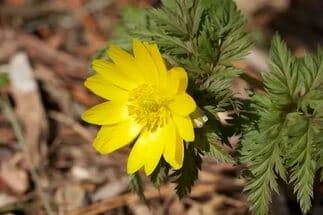 Адонис весенний (горицвет): применение и противопоказания травы в медицине, фото, описание