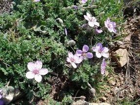 Аистник и его акварельные цветки