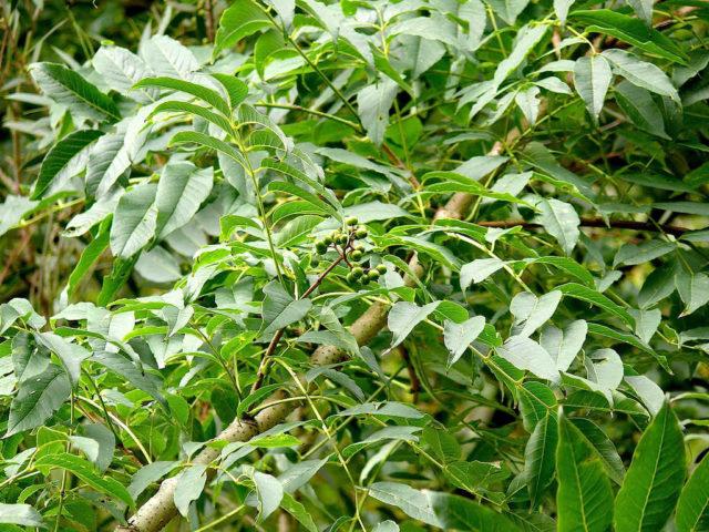 Рекомендуемые виды и сорта бархата для твоего сада