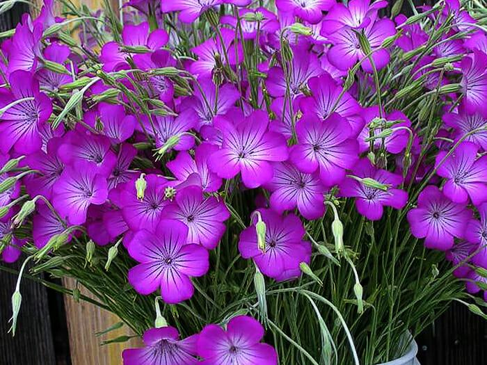 Куколь (агростемма): сорняк или декоративный цветок?