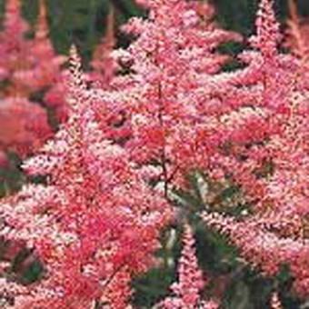 Астильба: посадка и уход в открытом грунте, фото цветов