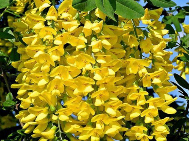 Несколько видов Бобовника для сада: Секреты выращивания