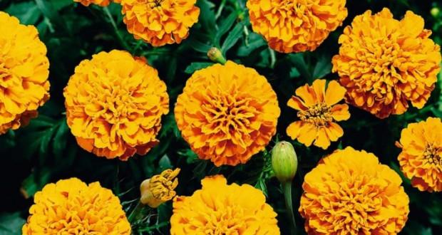 15 видов Бархатцов: Раскрываем секреты выращивания