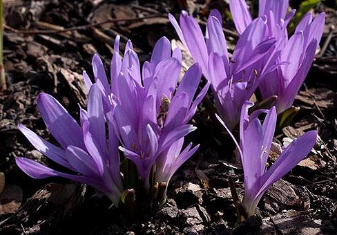 Брандушка (Бульбокодиум): Секреты выращивания