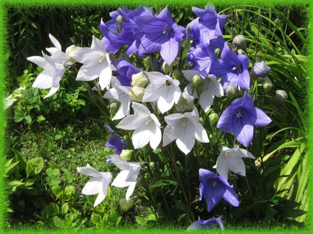 13 видов Платикодона (Валленбергия): Мой опыт выращивания