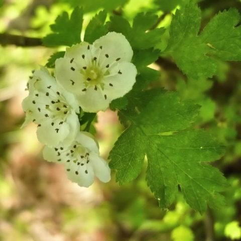 10 видов Боярышника: Секрет успеха выращивания