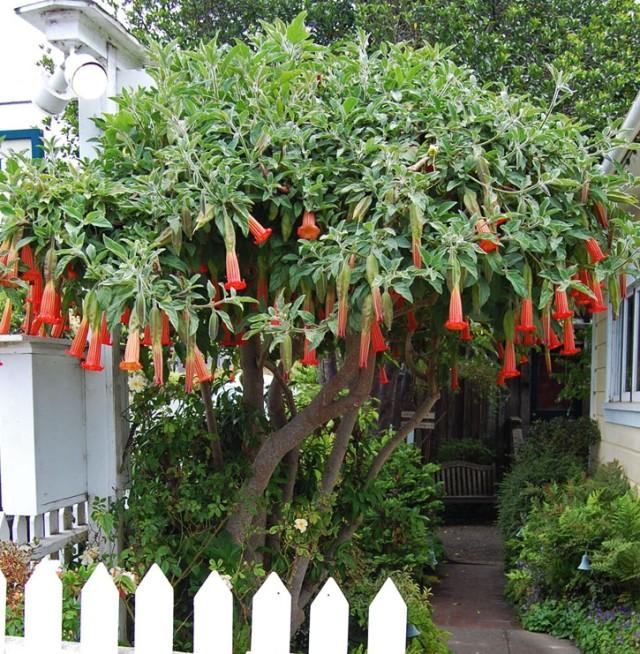 11 видов Бругмансии: Секреты выращивания