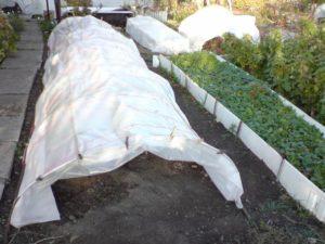 Какие ошибки при выращивании роз садоводы допускают чаще всего