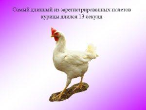 Почему курица не может летать и подниматься в воздух как дикие птицы