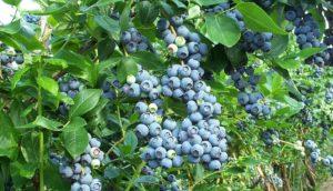 Голубика садовая: посадка и уход в открытом грунте. Лучшие сорта и правила размножения
