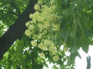 Белый орех – редкое декоративное растение
