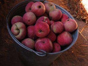 Яблоки зимних сортов: когда собирать и как подготовить к хранению