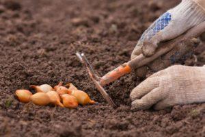 Когда и как я сажаю лук под зиму – оптимальные сроки и подходящие сорта