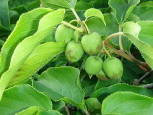 Как выращивать актинидию, барбарис и лимонник