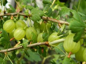 Осенний уход за плодово ягодными кустарниками